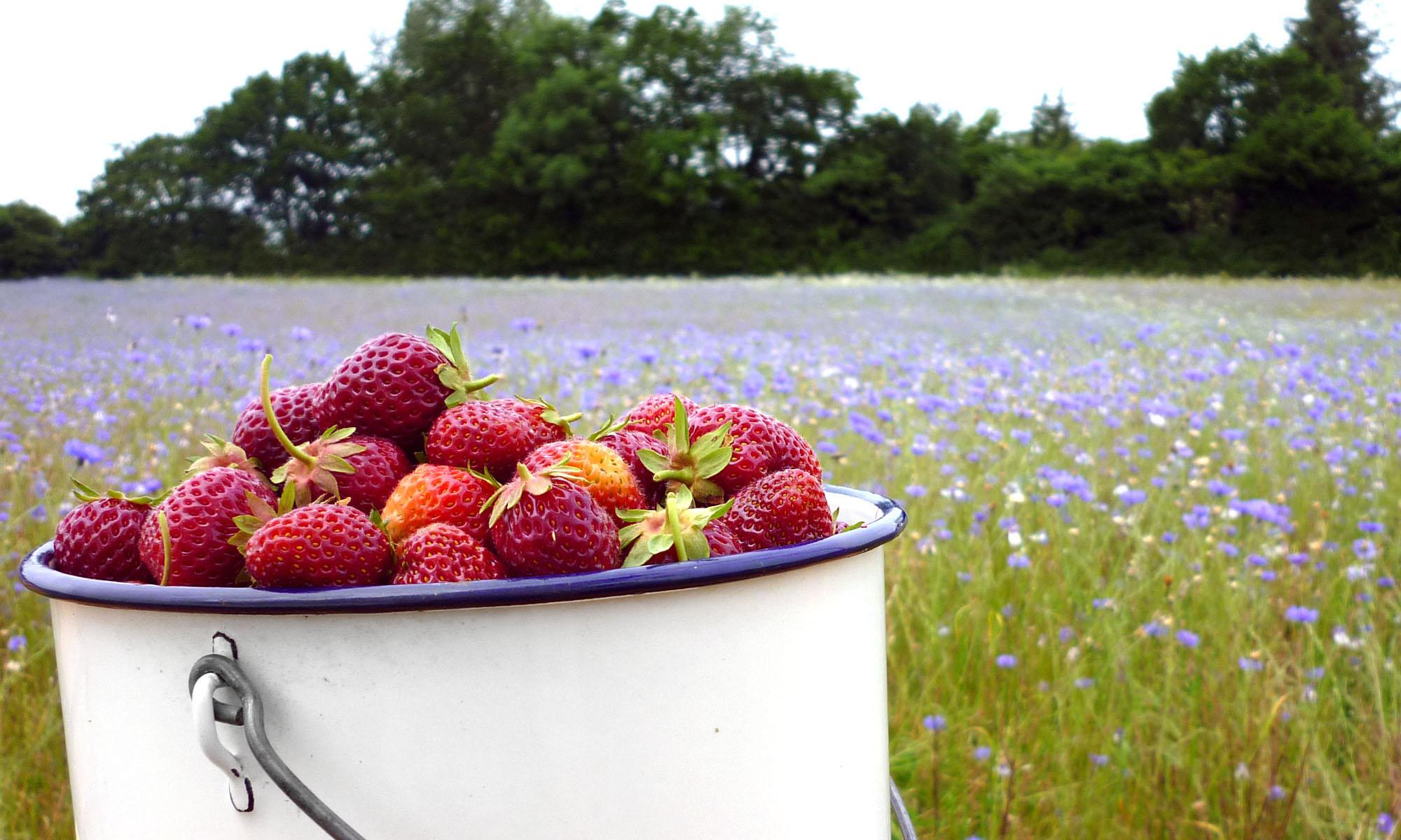 Bio-Erdbeeren für Selbstpflücker