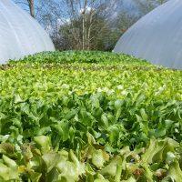 Bio-Salatanbau