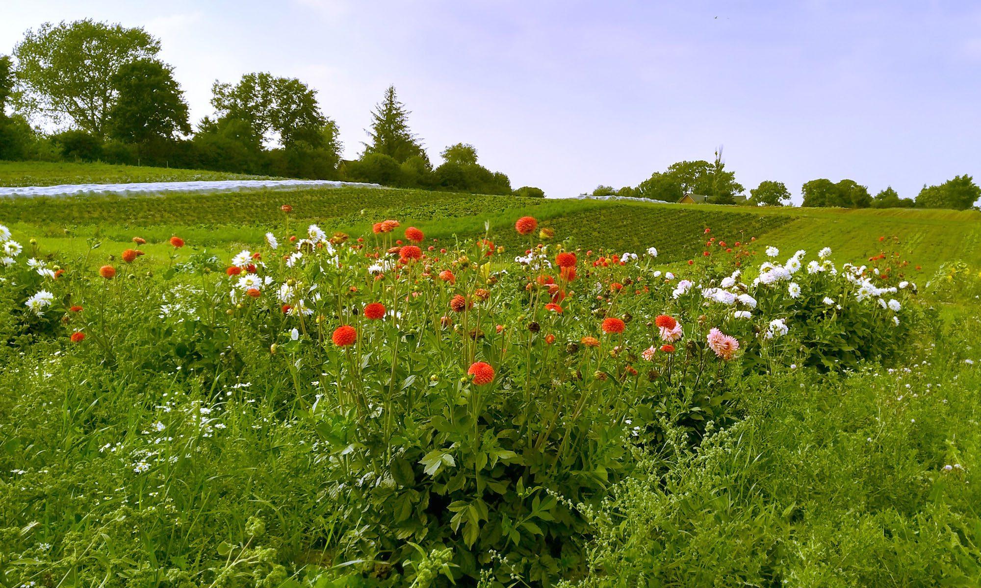 Bio-Gemüse auf dem Feld